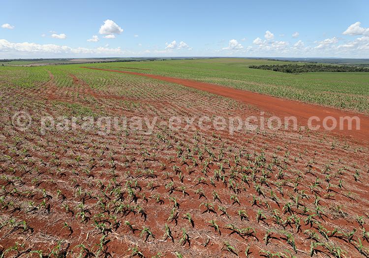 Agriculture du Paraguay, Paraná