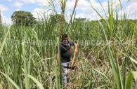 Production de canne à sucre au Paraguay
