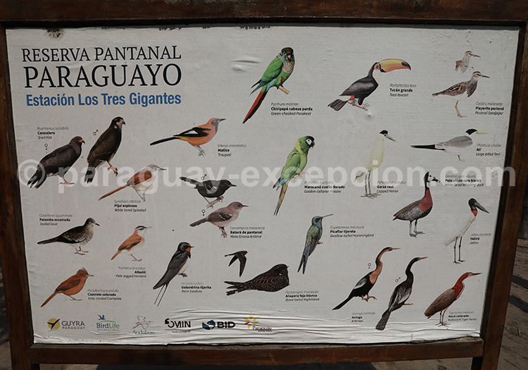 La faune aviaire à la Tres Gigantes, Chaco, Paraguay
