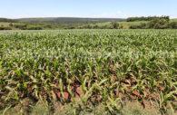 Champs de maïs au Paraguay