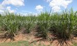 Canne à sucre au Paraguay