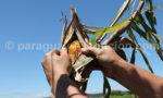 Culture du maïs au Paraguay