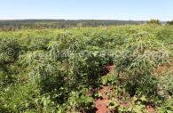 Champs de manioc